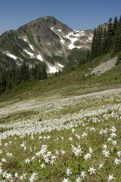 Avalanche Lilies at Appleton Pass, Olympic National Park, WA.