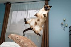 Siamese cats (95 pictures) (38)                                                                                                                                                     More