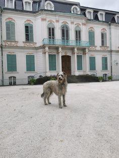 Irish Wolfhound, Dogs, Animals, Wolf Dogs, Irish Wolfhound Dogs, Animales, Animaux, Pet Dogs, Doggies