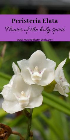 Peristeria Dove Orchid Or Holy Spirit Orchid Flower Of Holy Spirit Is Another Highly Famous Orchid Flowers Of T In 2020 Orchid Flower Orchids Looking After Orchids