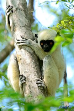 The silky sifaka (Propithecus candidus), Madagascar, a critically endangered lemur, a primate by Jordi Jornet