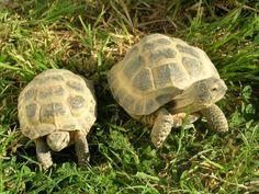 descriptif Les tortues des steppes