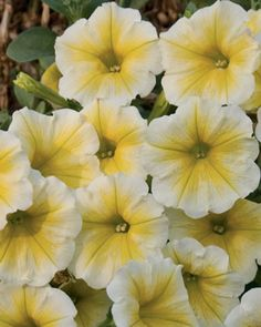 "Petunia supertunia citrus. Supertunias are just amazing (way, way better than ""wave"" petunias) and this is the very best color!"