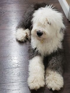 I've always wanted a Sheepdog. They remind me of Barkley from Sesame Street. Sheep Dog Puppy, Dog Cat, Sheep Dogs, Cute Dogs And Puppies, I Love Dogs, Doggies, Chien Bobtail, Old English Sheepdog Puppy, Sheep Dog English