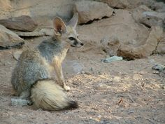 Blanfords Fox (Vulpes cana) is a small fox found in certain regions of the Middle East.