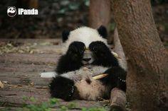 Guess why I close my eyes! #panda #giantpanda #animal #pet #adorable #China #travel #ipanda #cute #Sichuan