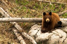Yellowstone is filled with new cubs Black Bear, Cubs, Wildlife, Animals, Bear Cubs, Animales, Puppys, American Black Bear, Animaux