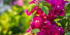🌷🌿💐 Αν μας ρωτούσαν ποιο λουλούδι έχει συνδεθεί περισσότερο με το άσπρο και το μπλε των ελληνικών νησιών, σίγουρα θα απαντούσαμε η βουκαμβίλια, ένα από τα πιο όμορφα και ανθεκτικά αναρριχώμενα φυτά για να φυτέψουμε στον κήπο και στο μπαλκόνι.  Αναλυτικός οδηγός για να απολαμβάνουμε βουκαμβίλιες με υπέροχη πλούσια ανθοφορία.