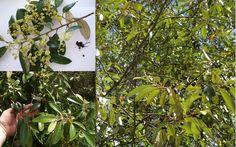 Sarsaparilla Red Ash Soap Tree Alphitonia Excelsa Seeds