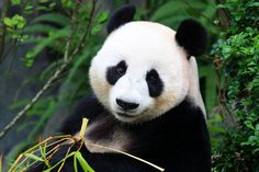 """As pointless as taking off the pants in order to fart,"" is how one expert has branded panda conservation efforts. Despite the serious amount of cash, time and energy injected into saving the bamboo-munchers from their march towards extinction, frustratingly nothing seems to work. Not even panda porn can help them go forth and multiply."