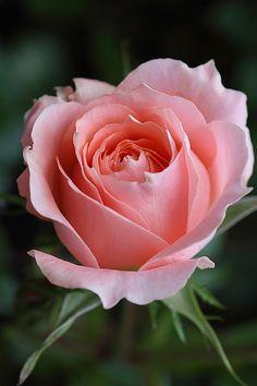 A Pretty Pink Rose.