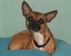 896 is an adoptable Chihuahua Dog in Fredericksburg, VA. I am available for adoption on 05/02/13. Space is limited. Come in to meet me, or call to get more information at (540) 507-7459. Please spay o...