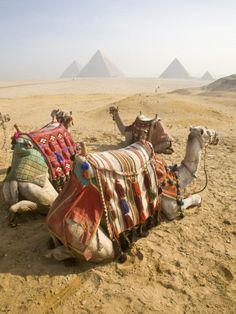 Resting Camels Gaze Across the Desert Sands of Giza, Cairo, Egypt Lámina fotográfica por Dave Bartruff en AllPosters.es