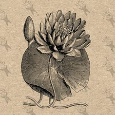 Vintage image Waterlily Lily Flower Instant Download от UnoPrint