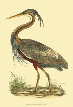 Prideaux John Selby / Purple Heron