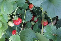 How to Grow Strawberries {Start to Finish}