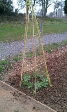 Growing broad beans in a wigwam. It might be unconventional, but it seems to work!