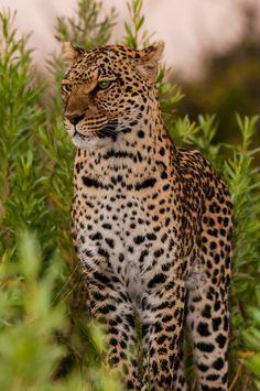 Leopard, near Kwando Concession, Linyanti Marshes, Botswana.