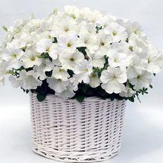 Petunia, Gioconda White