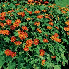 Fiesta Del Sol Mexican Sunflower Seeds: Masses of 2- to 3-inch deep orange blooms arise all summer long on this workhorse. As they fade, they are quickly replaced by new blooms.  Impervious to heat, humidity, drought, and even deer.  H:2.4-2.6ft.  Blooms: 2-3in.