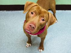 TO BE DESTROYED - 01/18/15 Manhattan Center -P My name is SHEBA. My Animal ID # is A1025099. I am a female brown am pit bull ter mix. The shelter thinks I am about 1 YEAR I came in the shelter as a STRAY on 01/09/2015 from NY 10452, owner surrender reason stated was STRAY.