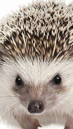 Hedgehog. Beautiful....