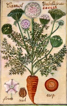Sophie Grandval ... next time you pull up Queen Anne's Lace and you get the whole root ... smell it. The wild carrot is much more carroty than the tamed carrot.