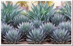 Agaves 'Blue Flame' in the back row and 'Blue Glow' in the front. Stunning!