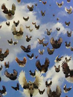 15 High Flying Pigeons, Racing Pigeons, Racing Pigeon Lofts, Le Pigeon, Pigeon Breeds, Birds 2, Gods Creation, Bird Watching, Beautiful Birds