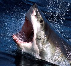 Great White Shark Attacks On Humans | Great White Sharks deserve our protection. (File) Credit: Reuters