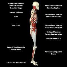 Myofascial Meridains (Anatomy Trains): Lateral Line