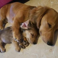 Dachshund Puppies And just look how menacing they are when they're sleeping. Dachshund Breed, Dachshund Love, Daschund, Cute Baby Animals, Funny Animals, Wild Animals, Cute Puppies, Cute Dogs, Baby Puppies