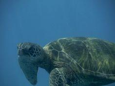 """alohaoe-tropics: """"found a turtle today… """""""