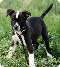Pictures of Lennon a Border Collie/American Bulldog Mix for adoption in Plainfield, CT who needs a loving home.