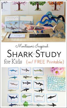 Shark study for kids