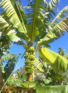 Dlaczego kochamy banany z Wysp Kanaryjskich: https://www.facebook.com/WyspySzczesliwe/photos/a.374631509263026.83182.371607482898762/807003826025790/?type=1 #wyspy_kanaryjskie
