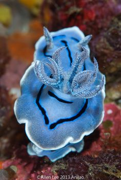 I am obsessed with nudibranches.