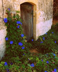 Dreamy Bohemian Garden Spaces on - Morning Glories in all their glory Love Flowers, Wild Flowers, Beautiful Flowers, Unusual Flowers, Bright Flowers, Beautiful Gorgeous, Purple Flowers, Blue Morning Glory, Morning Glory Wall