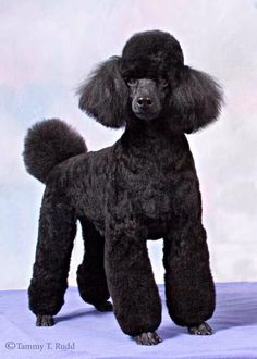 Beautiful Poodle. I think my little Sonny would look great in this style.