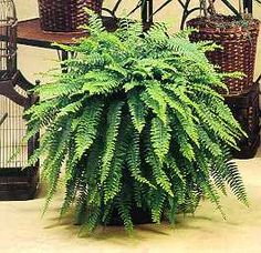 """Boston Ferns. NASA Purifying Score: 7.5  Ninth on NASA's ranking of top air purifying plants is the ever-popular Boston Fern (or Nephrolepis exalta.) Cool and relaxing, the Boston Fern has been called the """"most efficient filtering plant"""" by MetaEfficient.com for its time-tested ability to expel mold and toxins from indoor air. Plus, it's sure to make any home or office more forest-like!"""