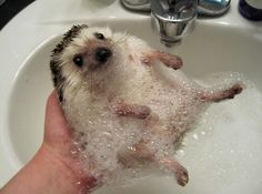 A hedgehog taking a bath