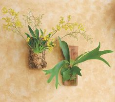 Our fascinating cork-mounted Oncidium Twinkle - a tiny orchid with fragrant flowers - and Staghorn Fern can be grouped to create a wall of living art or hung individually indoors or out. Simply remove and water occasionally. Twinkle flower colors will vary from yellow, to white, to pink. (from VivaTerra ~ inspired green living) #eco #design