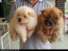 These guys who have work to do and can't cuddle with you ALL day. | 27 Chow Chow Puppies Too Fuzzy For Their Own Good