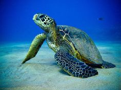 Wallpapers Abstract Turtle Ocean Animals Fish Turtles Sea Underwater X Turtle Love, Green Turtle, Mock Turtle, The Ancient One, Tortoise Turtle, Fish Wallpaper, Wallpaper Pictures, Mundo Animal, Ocean Creatures