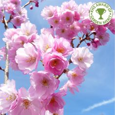 The Prunus Accolade Flowering #Cherry Tree is a small, open branched tree which boasts rose-pink clusters of #flowers in Spring followed by orange/red foliage appearing in time for the Autumn season.