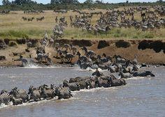 Migración zebras Masai Mara