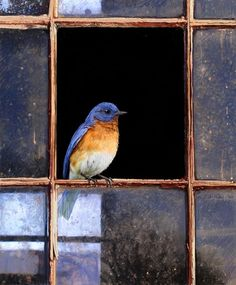 Barn Window - Eastern Bluebird