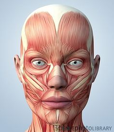 Exceptional Drawing The Human Figure Ideas. Staggering Drawing The Human Figure Ideas. Face Muscles Anatomy, Muscles Of The Face, Facial Anatomy, Head Anatomy, Human Anatomy Drawing, Human Body Anatomy, Muscle Anatomy, Facial Muscles, Anatomy Art