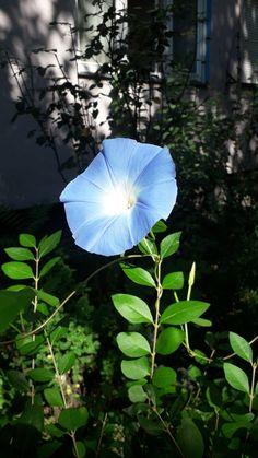 Dandelion, Plant Leaves, Flowers, Plants, Dandelions, Plant, Taraxacum Officinale, Royal Icing Flowers, Flower