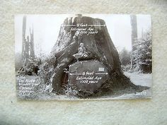 """The """"Del Norte Wonder Tree"""",Redwood Hwy, California-EARLY 1900'S PHOTO POST CARD"""